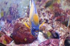 Blue-ring angelfish Stock Image