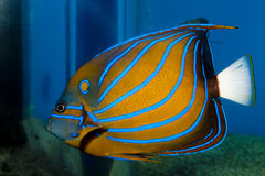 Blue Ring Angelfish (Pomacanthus annularis). In Aquarium royalty free stock photos