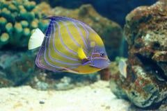 Blue ring angelfish Stock Image