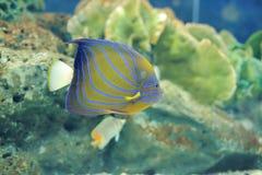 Blue ring angelfish Royalty Free Stock Image