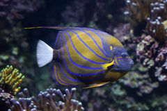Blue ring angelfish Pomacanthus annularis. Marine fish stock photography