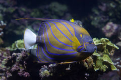 Blue ring angelfish Pomacanthus annularis. Royalty Free Stock Photos