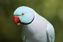 Blue Ring Neck Parrot Royalty Free Stock Photo