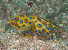 Blue ring octopus. On sand Stock Photo