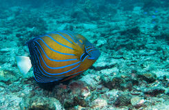 Blue ringed angelfish. A blue ring angel fish swims across the seabed Stock Images
