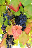 Blue ripe grapes and autumn leaves in Portugal stock image