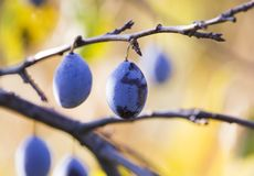 Blue ripe plums Royalty Free Stock Image