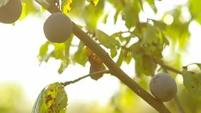 Blue ripe plums on the tree in green leaves, natural foods, gardening agriculture. Blue ripe plums on the tree in green leaves, natural foods, gardening stock footage