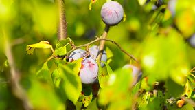 Blue ripe plums on tree in green leaves, the sun, natural foods, gardening agriculture. Blue ripe plums on the tree in green leaves, the sun, natural foods stock video footage