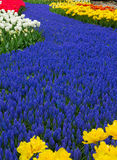 Blue river of flowers in holland garden Stock Photos