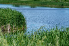 Blue river and green grass reeds Stock Photos