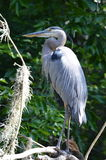Blue River Heron Stock Photo