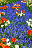Blue river of muscari flowers in holland garden royalty free stock photo