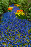 Blue river of muscari flowers Royalty Free Stock Photos