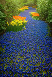 Blue river of muscari flowers Royalty Free Stock Images