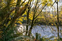 Gold fall forest with river. Blue river running through golden trees in fall in bright  forest park Stock Photo