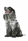 Blue roan cocker spaniel. In front of a white background royalty free stock photos