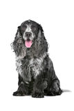 Blue roan cocker spaniel. In front of a white background stock photo