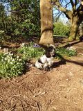 A blue roan cocker spaniel amongst trees and bluebells Royalty Free Stock Images