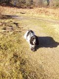 Blue Roan English Cocker Spaniel Royalty Free Stock Images