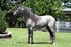 Blue roan horse. Side view of blue roan colored horse stock photo