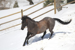 Blue Roan Quarter horse running in the snow. Royalty Free Stock Photos