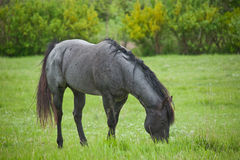 Blue roan quarter horse stud. Blue roan quarter horse stallion grazing in green pasture stock images