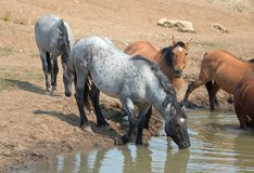 Blue Roan stallion drinking at the waterhole with herd of wild horses in the Pryor Mountains Wild Horse Range in Montana USA. Blue Roan stallion drinking at the stock photography