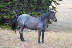 Blue Roan Stallion wild horse mustang on Sykes Ridge in the Pryor Mountains wild horse range in Montana USA Stock Photos