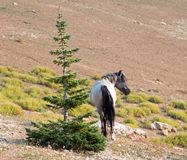 Blue Roan Stallion wild horse in the Pryor Mountains Wild Horse Range in Montana USA. Blue Roan Stallion wild horse in the Pryor Mountains Wild Horse Range in royalty free stock image