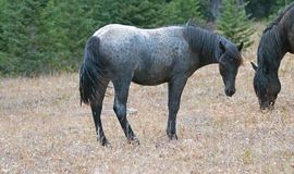 Blue Roan Yearling mare wild horse in the Pryor Mountains Wild Horse Range in Montana USA. Blue Roan Yearling mare wild horse in the Pryor Mountains Wild Horse stock images