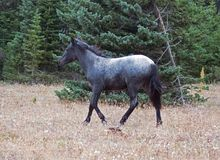 Blue Roan Yearling mare wild horse in the Pryor Mountains Wild Horse Range in Montana USA. Blue Roan Yearling mare wild horse in the Pryor Mountains Wild Horse stock photos