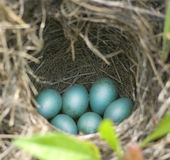 Blue robin eggs in their nest Stock Photos