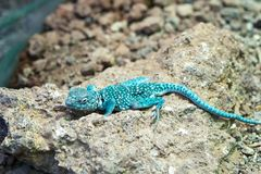 Blue rock agama Royalty Free Stock Photography