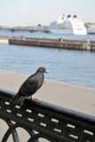 The blue rock pigeon (Columba livia Gmelin) sits on Neva Embankm parapet. St. Petersburg Royalty Free Stock Images