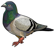Blue rock pigeon Royalty Free Stock Image