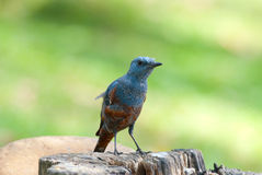 Blue rock thrush Royalty Free Stock Photography