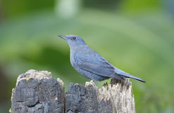 Blue Rock Thrush Royalty Free Stock Images