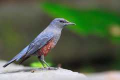 Blue Rock Thrush Royalty Free Stock Photos