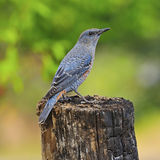 Blue Rock-Thrush Royalty Free Stock Photography