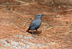 Blue rock thrush Stock Photo