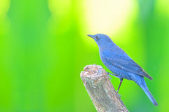 Blue Rock Thrush bird Stock Photos