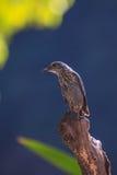 Blue Rock Thrush bird (Monticola solitarius) Royalty Free Stock Photography