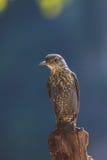 Blue Rock Thrush bird (Monticola solitarius) Stock Image