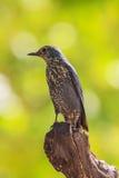 Blue Rock Thrush bird (Monticola solitarius) Royalty Free Stock Photo