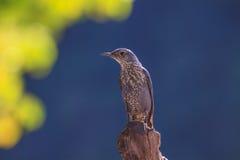 Blue Rock Thrush bird (Monticola solitarius) Royalty Free Stock Images