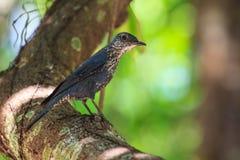 Blue Rock Thrush bird (Monticola solitarius) Royalty Free Stock Photos