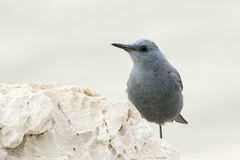 Blue Rock Thrush Stock Images