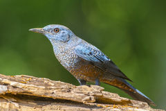 Blue Rock-Thrush (Monticola solitarius), Bird Royalty Free Stock Photos