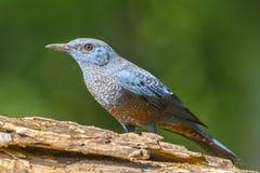 Blue Rock-Thrush (Monticola solitarius), Bird Royalty Free Stock Photos